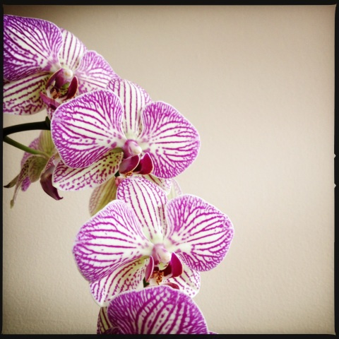 My mom's beautiful orchid that resides in the living room.